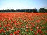 Poppy Field at Birdlip, near Gloucester..Click to see larger..